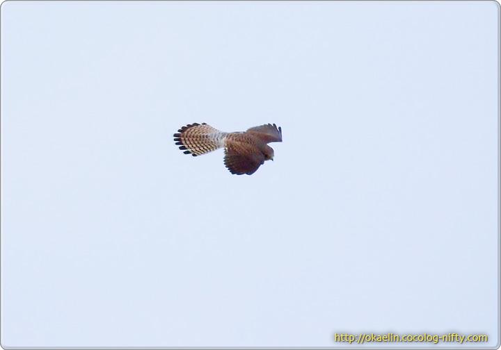 ハイタカ若鳥を睨んでホバリングするチョウゲンボウ