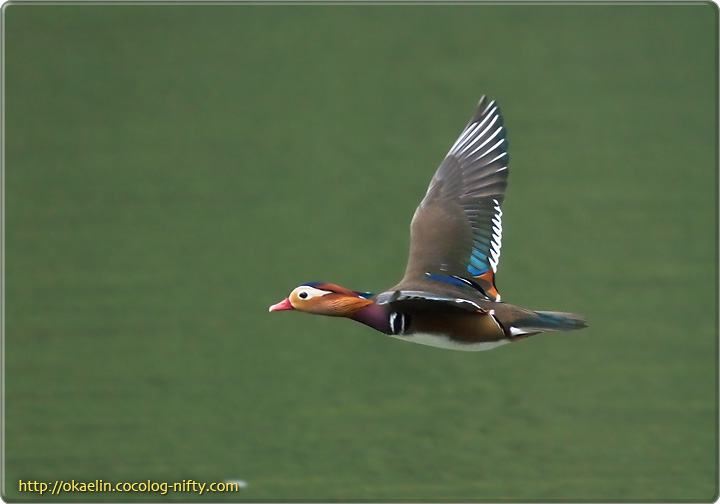 オシドリ♂ 飛翔
