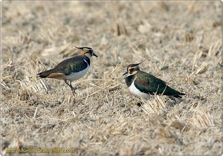 タゲリ(左:♂、右:若鳥)