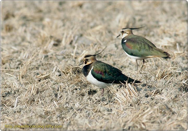 タゲリ(手前:若鳥、奥:♀)