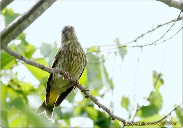 コカワラヒワ幼鳥