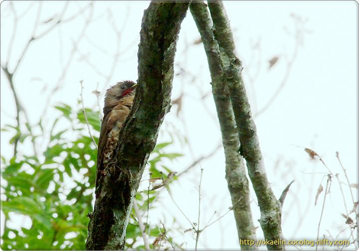 アオゲラ幼鳥