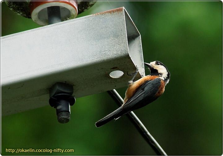 ヤマガラ成鳥