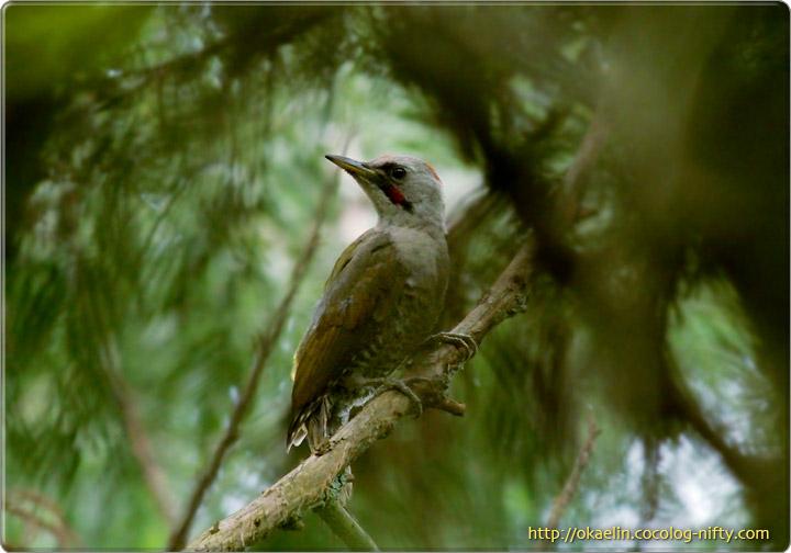 アオゲラ成鳥♀