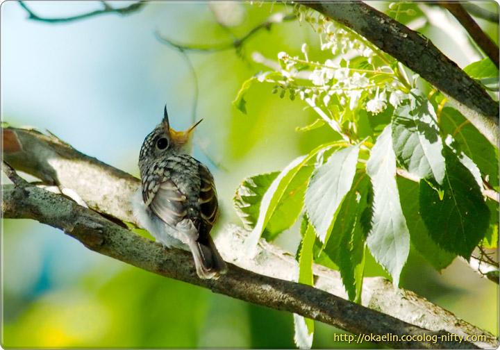 サメビタキ幼鳥