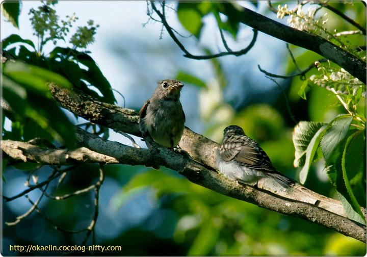 サメビタキ(左:親鳥、右:幼鳥)