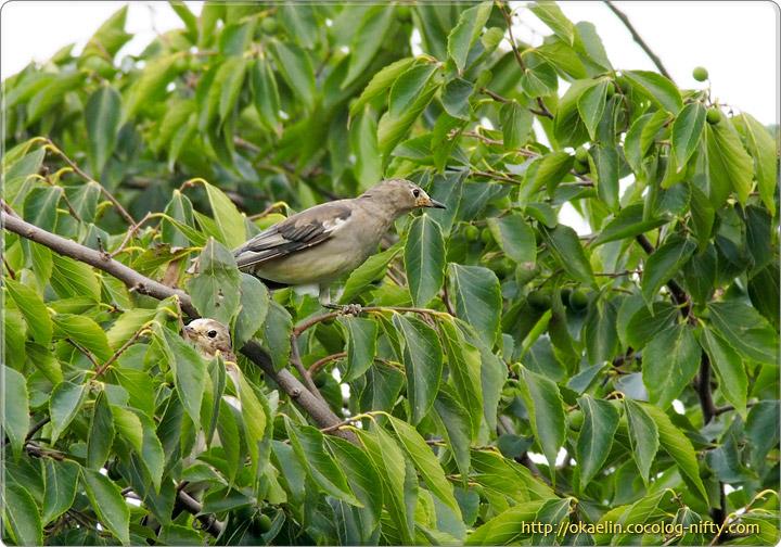 コムクドリ幼鳥