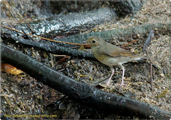 コルリ若鳥♀