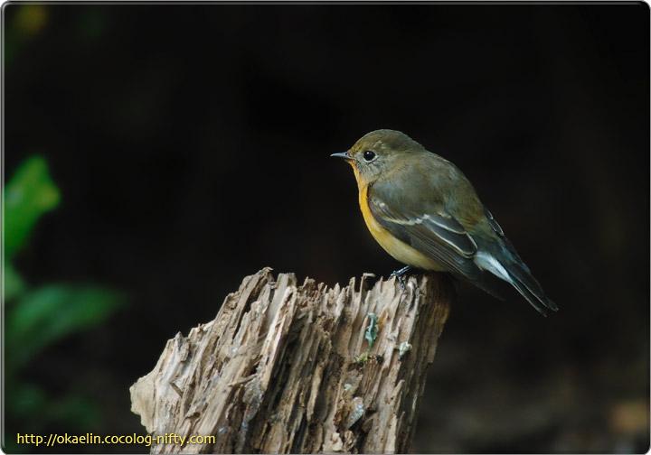 ムギマキ♂若鳥