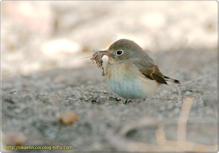オジロビタキ若鳥♂