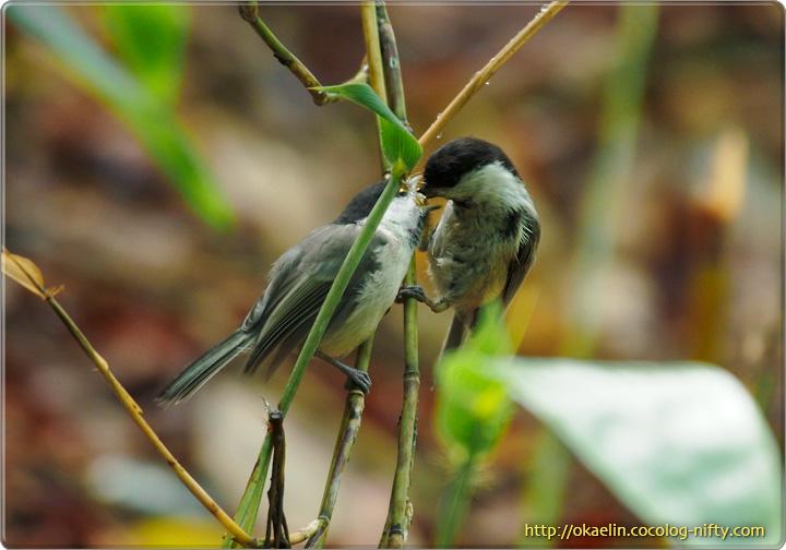コガラ(左:幼鳥 右:親鳥)