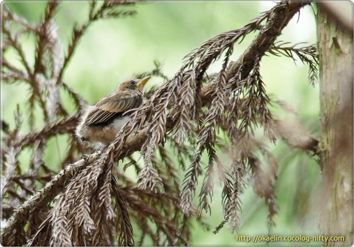 サンコウチョウの巣立ち雛