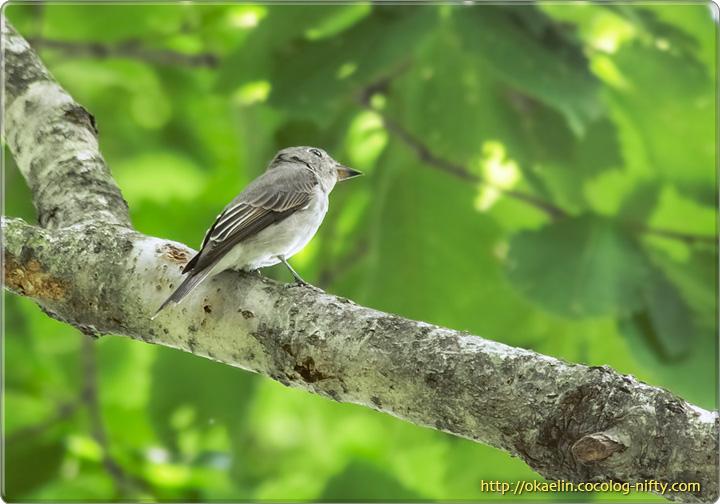 コサメビタキ若鳥