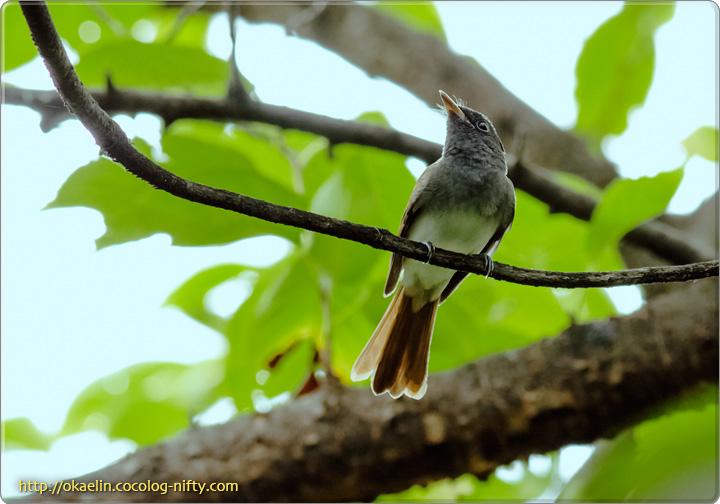 サンコウチョウ若鳥