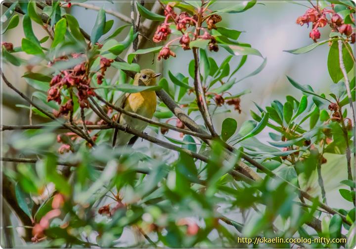ムギマキ♀若鳥