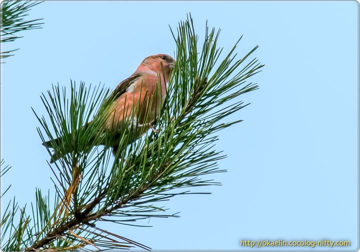 イスカ♂若鳥