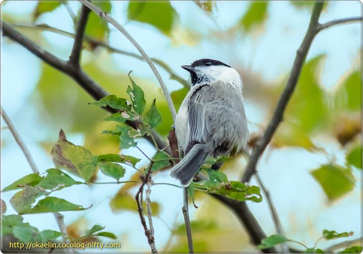 コガラ若鳥
