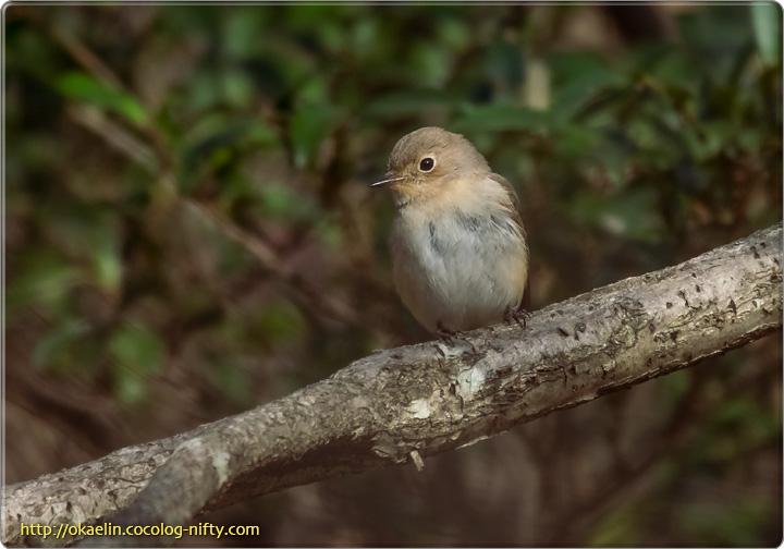 オジロビタキ若鳥