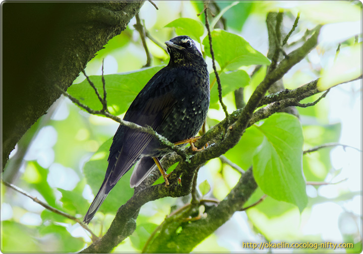 マミジロ♂若鳥