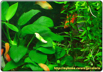 アヌビアス・ナナの花