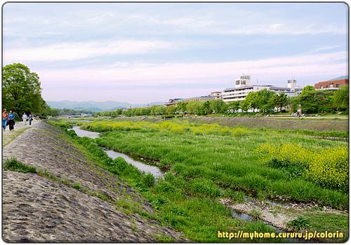 鴨川中州に咲くセイヨウカラシナ