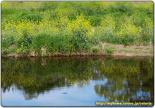 鴨川の水面を彩るセイヨウカラシナ